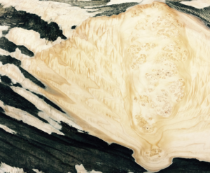 A close up of Maple cluster showing both quilted and burl grain.